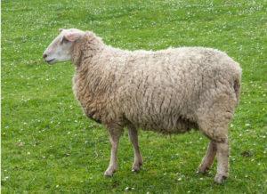 Mouton Lande de Bretagne, une race utilisée en écopâturage par les éleveurs