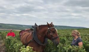 un des cheval de Jean-Noël Crochet participant à des vendanges sous le signe du développement durable en région champenoise