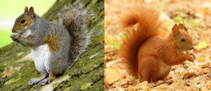 Écureuil gris et écueuil roux, le premier nuit au second et engendre une perte pour la biodiversité