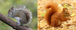 Écureuil gris et écureuil roux, petits mammifères