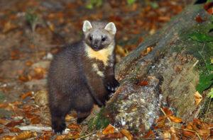 martre des pins, pelage brun sombre, cou blanc orangé, museau sombre et haut de la tête et oreilles couleur beige.