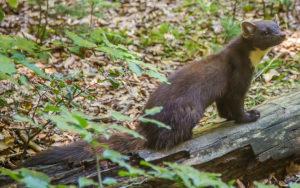 Martre : robe de couleur brune, plastron jaune-orangé, longue queue touffue, en s'attaquant aux écureuils gris elle protège la biodiversité
