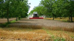 Agroforesterie contemporaine : une moissoneuse récolte le blé sous des noyers