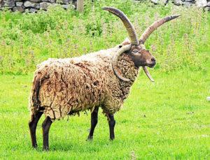 Mouton à deux paires de cornes. Une paire vers le bas, comme un mouflon, l'autre vers le haut, comme une gazelle