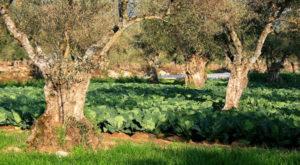 Agroforesterie en Espagne : oliviers centenaires et culture de choux