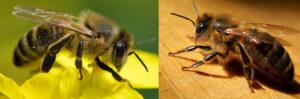 Photographie macroscopique d'une abeille européenne (Apis mellifera) et d'une abeille noire (Apis mellifera mellifera).