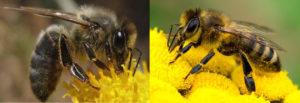 """Abeille noire et abeille """"classique"""", comme le mouton d'Ouessant pour l'éco-pâturage, elle est plus résistante car plus rustique"""