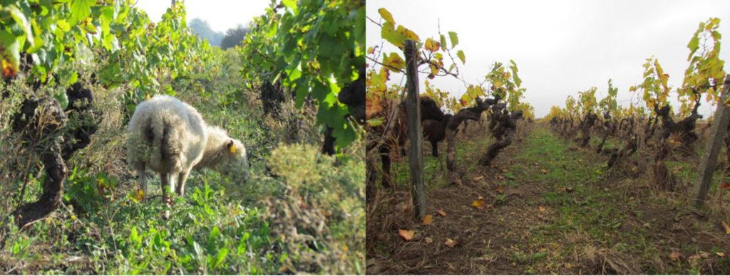 Vues de la vigne avant pâturage, très enherbée, puis après, tondue au ras-du-sol