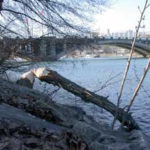 faune et milieu urbain : arbre abattu par un castor le long d'une berge articiciel, pont en arrière plan