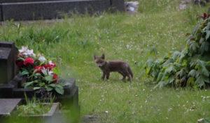 Faune en ville : un renardeau, au duvet gris au milieu des tombes