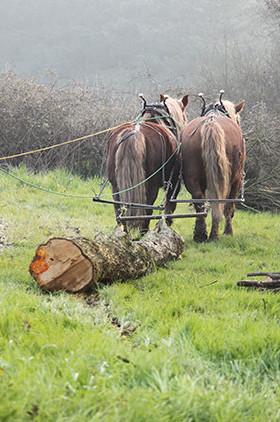 Traction animale en Loire-Atlantique (44) : débardage