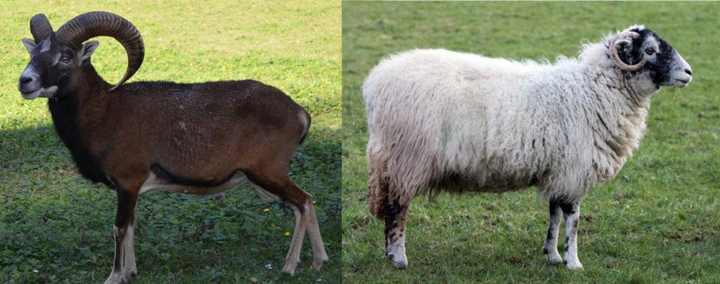 """A gauche, un mouflon. A droite, un mouton """"Scottish Blackface"""", race domestique courante au Royaume-Unis. Rustique et adapté aux terres pauvres, il peut être utilisé en éco-pâturage"""