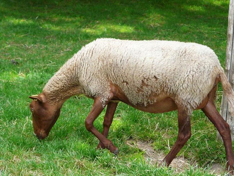 Un mouton de race solognote, utilisé en éco-pâturage (assez peu en Loire-Atlantique), robe gris-beige, ventre, pattes et tête bruns