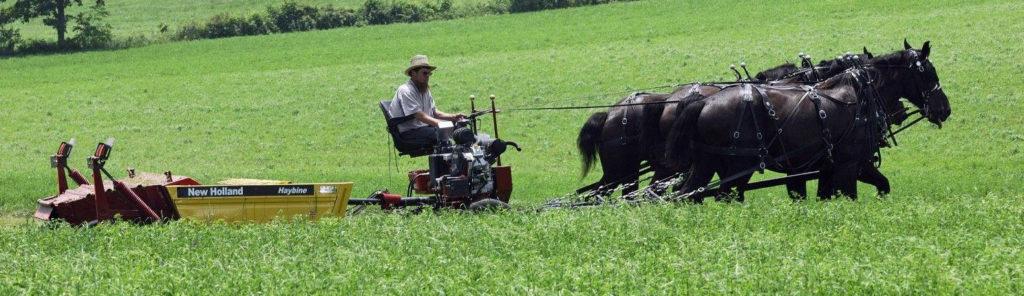 Un exemple de traction animale moderne : agriculteur assis sur une faucheuse mécanique tirée par 3 chevaux noirs en ligne
