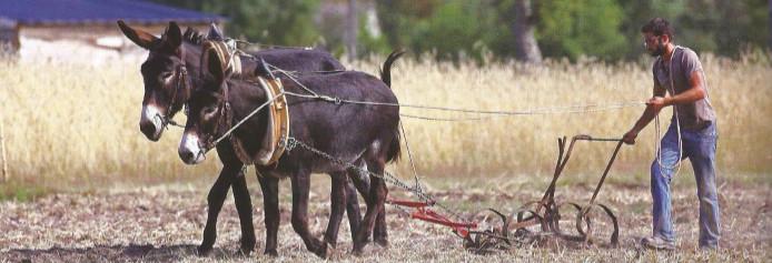 Exemple de traction animale en France : un jeune agriculteur sarcle un champs avec deux ânes