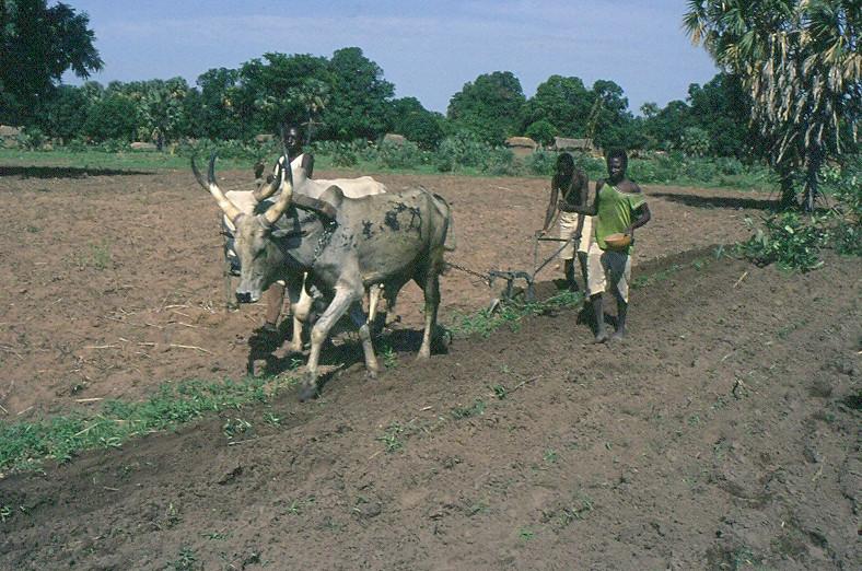 Traction animale en Afrique centrale : deux zébus tractent une petite charrue dirigée par un homme. Un autre homme sème à la main.