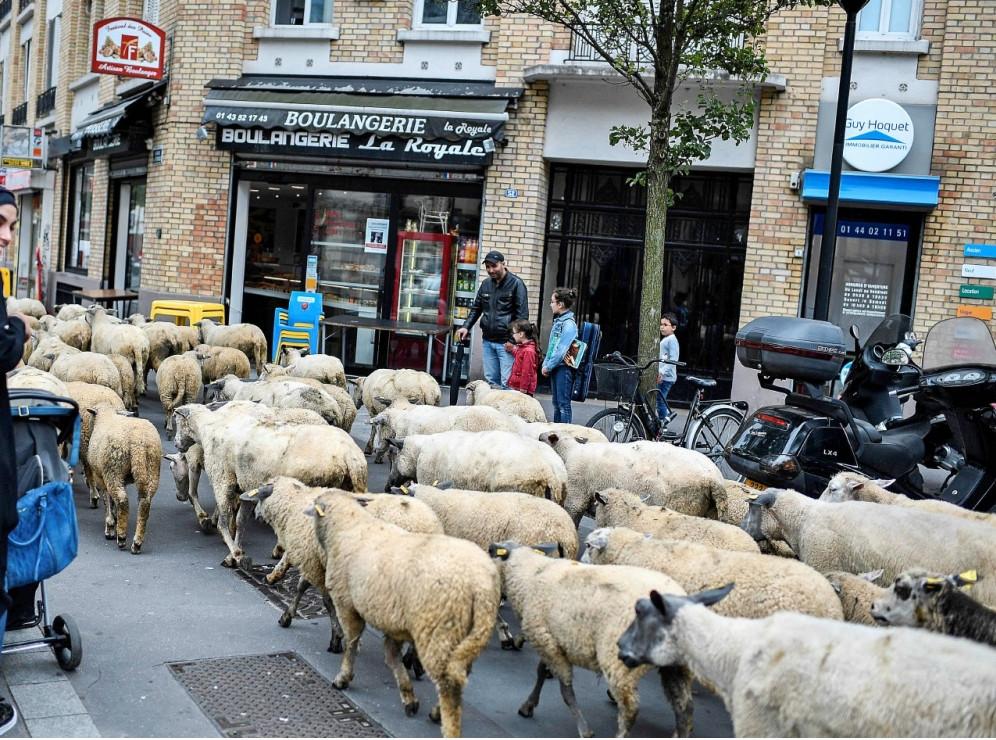 Eco-pâturage en ville : transhumance de moutons dans une rue, devant des passants