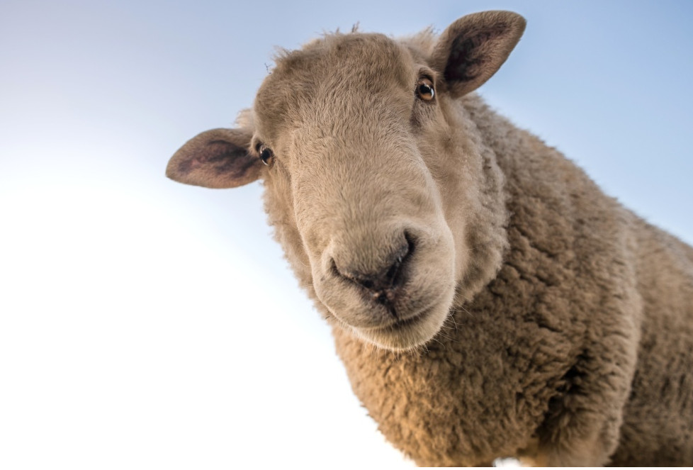 Mouton regardant l'objectif, d'un air curieux