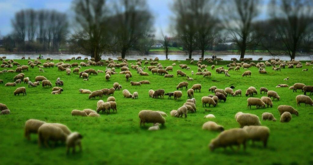 Troupeau de moutons dans un champ très vert, rivière dans le fond, brebis et agneaux, certains couchés