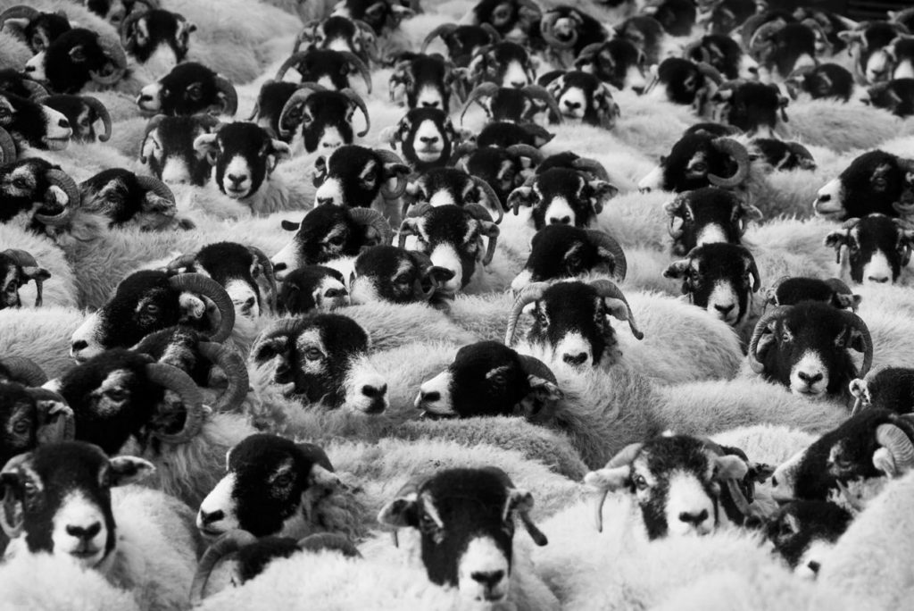 Troupeau de mouton très serré, tête noire, museau blanc, corps blanc