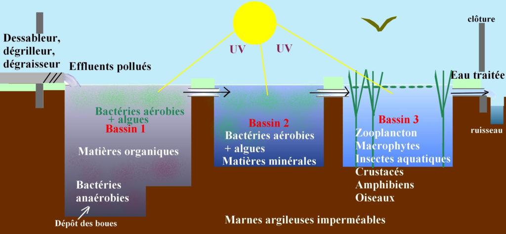 Coupe d'un système en assainissement écologique par lagunage : dégraisseur, puis succession de trois bassins, dont le dernier contient des plantes.