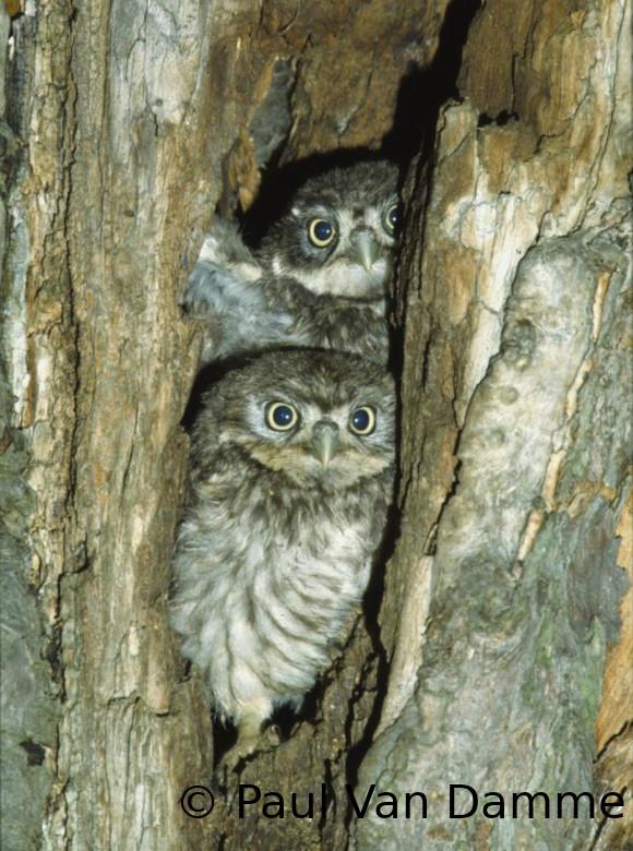 Deux chouettes blotties dans un trou d'un arbre creux