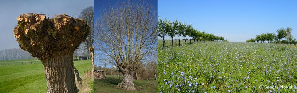 De gauche à droite : arbre têtard taillé, arbre tétard avec branche, prairie fleurie avec deux rangées d'arbres