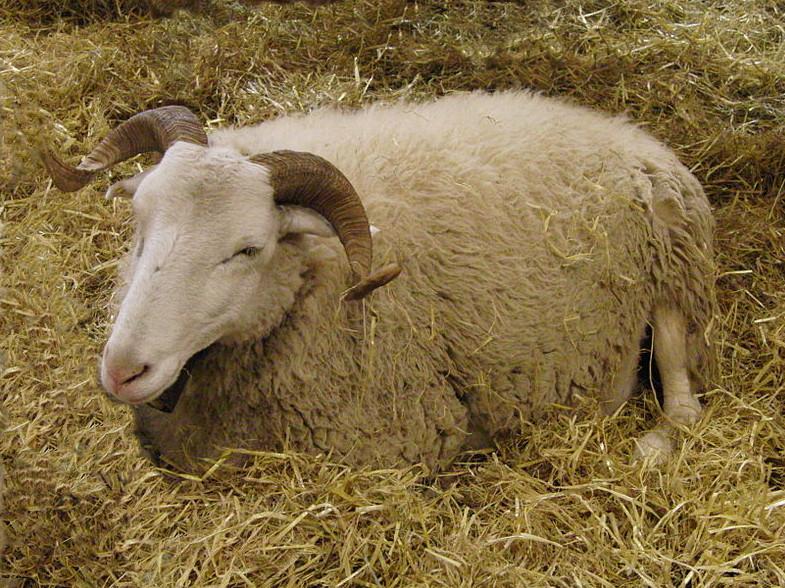 Brebis de race Raïole : robe blanche, cornes larges et enroulées, tête allongée, se reposant dans la paille