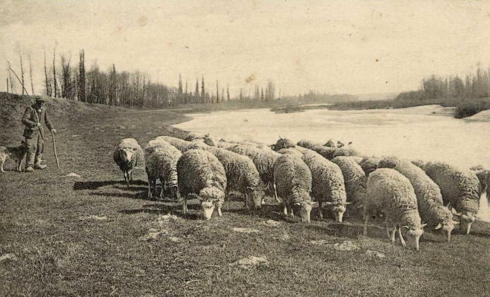 Écopâturage et espaces verts, location de moutons : photo couleur sépia, berger avec son chien, moutons en premier plan, bord de Loire