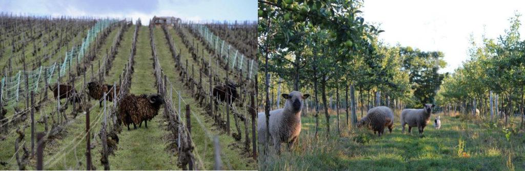 Location de moutons d'Ouessant : un mâle à grandes cornes au centre de la photo, dans des rangées de vignes en pente. Autre photo de mouton Hampshire (beige, nez noir) sous des jeunes pommiers plantés en ligne