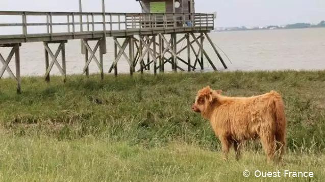 Vache Highland (poils longs, bruns-crème, museau et contours des yeux noirs) dans une prairie. En arrière-plan : une pêcherie et la Loire. Corsept, département 44