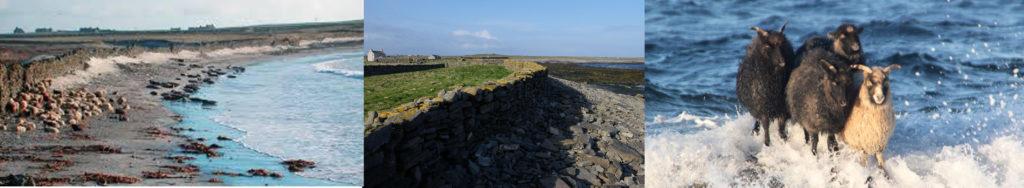 De gauche à droite : vue d'une plage de l'île de North Ronaldsay avec le mur séparant la plage des terres ; vue rapprochée du mur montée en pierres sèches ; des moutons sur un rocher submergé par une vague
