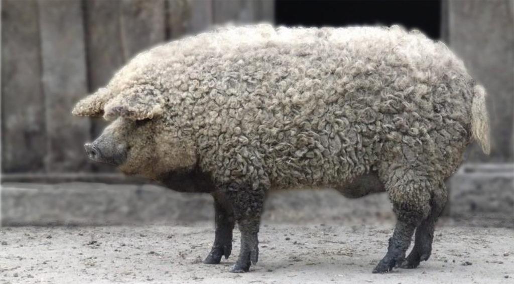 Cochon laineux appelé aussi cochon Mangalitza, vu de profil, pattes sombres, toison laineuse bouclée blanche. Cochon utilisé en écopâturage !