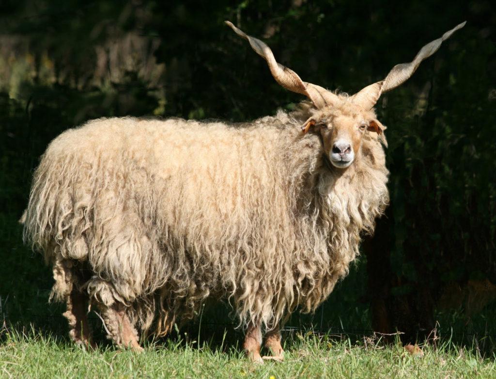 Un mouton racka : cornes partant chacune à 45° de chaque côté du haut du crâne, corne droite et spiralée (comme celle d'une licorne), longue toison blanche pendant jusqu'au sol