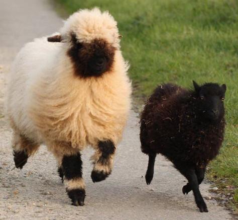 Un mouton Nez noir du Vallais et un mouton d'Ouessant en train de courir : le premier fait deux fois la taille du second !