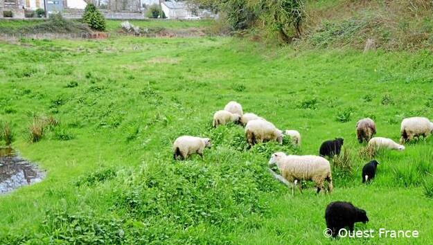 Moutons de race Lande de Bretagne  en écopâturage dans un pré, entouré de maison, à Savenay dans le département de Loire-Atlantique (département 44)