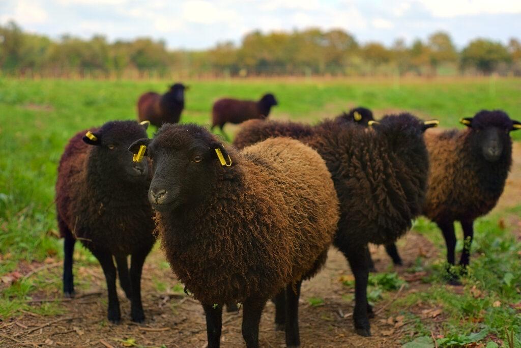Brebis d'Ouessant dans une prairie à Guérande (Loire-Atlantique, département 44). Brebis noire et marrons au premier plan, boucles d'identification jaunes, haie floue en arrière-plan