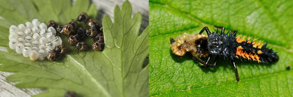 Photographies macroscopiques : à gauche, œufs et larves de punaises sur une feuille. À droite, sur une feuille, larve de coccinelle jaune et noir, corps allongé recouvert de piquants dévorant un puceron