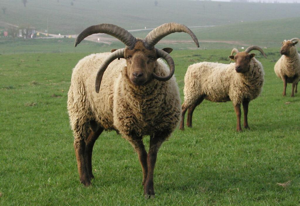 Montons de race loaghtan, celui en premier plan à 2 paires de cornes, l'une dirigée vers le haut, l'autre paire dirigée vers le bas. Moutons beige avec têtes et pattes brun foncé