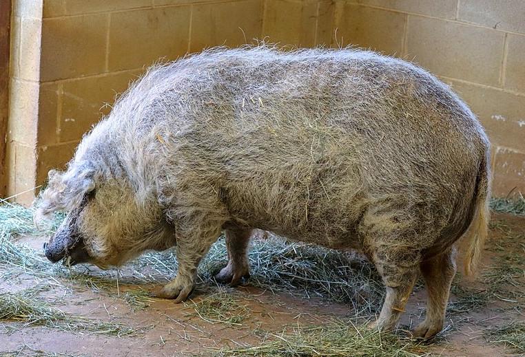 Cochon dans un bâtiment, poils longs et fibreux, couleur blanc, groin noir