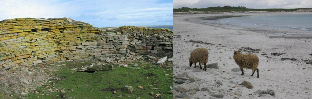 De gauche à droite : vue du mur de l'île de North Ronaldsay séparant la plage des terres. Mur monté en pierres sèches ; des moutons blanc et pattes noires, en train de marcher sur une plage