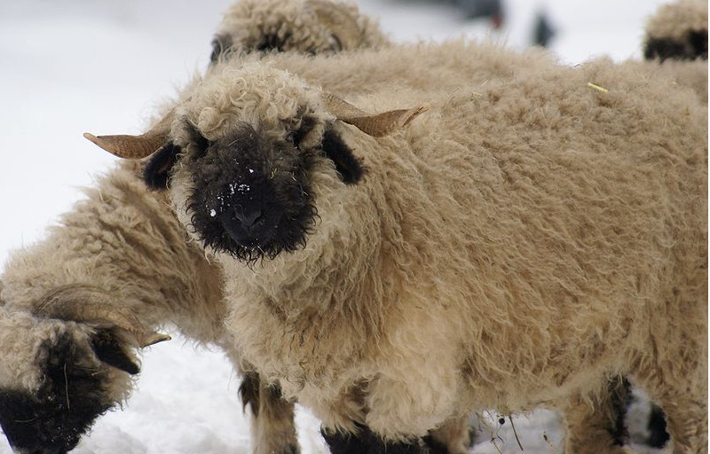 Deux moutons nez noir du Valais , dans la neige, l'un regarde l'objectif, l'autre a la tête penchée. Mouton blanc-crême avec les oreilles, la face et les pattes noires