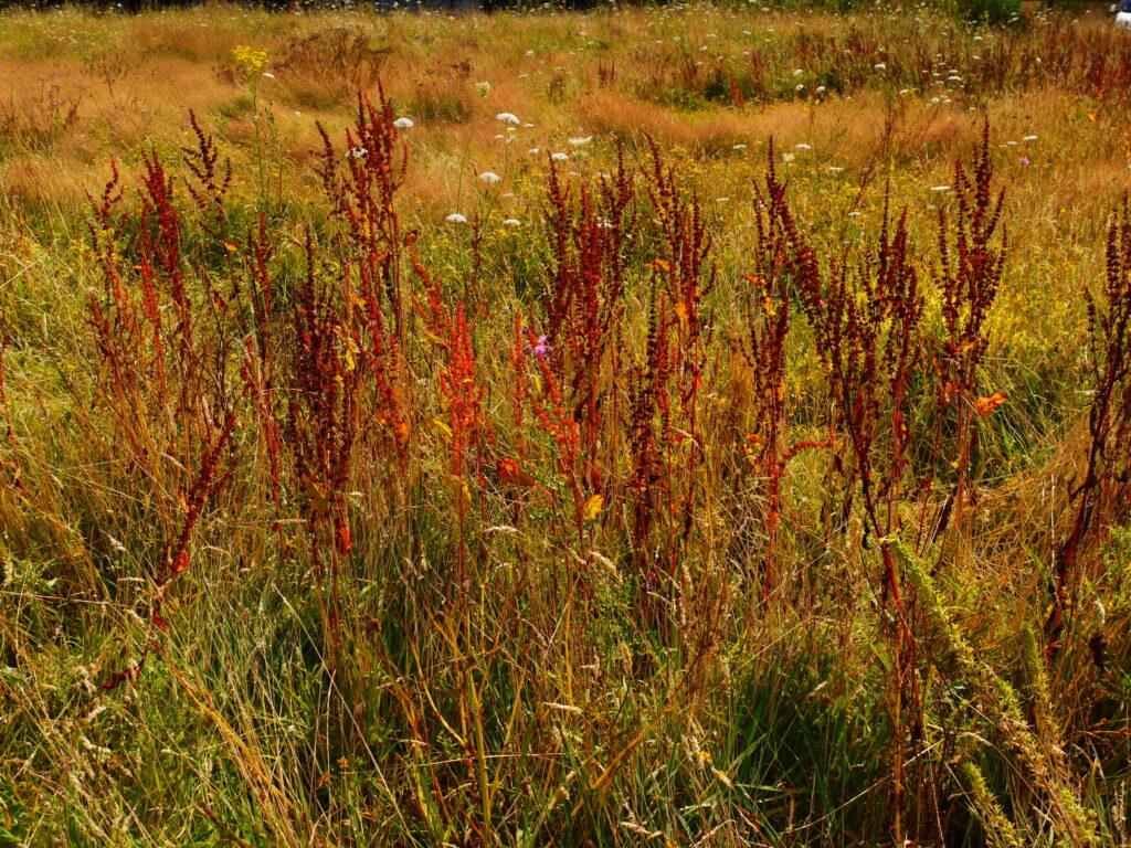 Prairie avec de l'herbe haute et rumex dépassant toutes les autres herbes en hauteur. Rumex de couleur sombre par rapport au reste de la prairie.